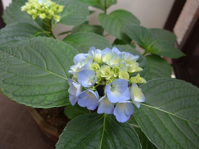 紫陽花 part2